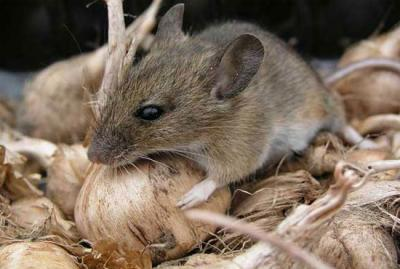 унищожаване на мишки