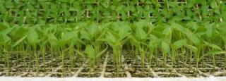 Разсад със сортови семена